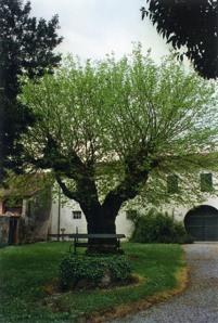 El moreron della famiglia Tocchetti a Godega Sant'Urbano